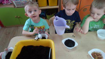 Średniaki sadzą cebulkę.